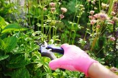 Perennials do aparamento após a florescência fotografia de stock royalty free
