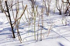 Perennials que sobreviveram ao inverno na neve imagem de stock royalty free