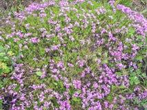 Perennials roxos crescentes selvagens das flores selvagens imagens de stock