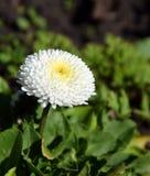 Perennis белые, общая маргаритка Bellis в саде стоковое фото