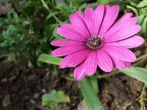 Perennis Bellis στον κήπο Στοκ φωτογραφίες με δικαίωμα ελεύθερης χρήσης