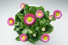 Perennis bellis сада в цветени стоковое изображение