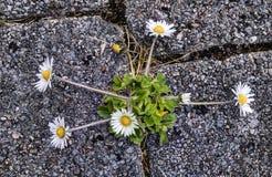 Perennis Bellis gemeines Gänseblümchen des Weiß Stockfoto