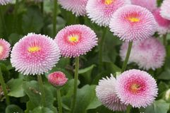 Perennis cor-de-rosa de Pom Pom Daisies Bellis foto de stock