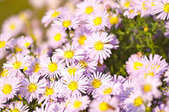 Perennis d'aster Photos stock
