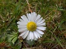 Perennis Daisy Bellis - άνωθεν στοκ εικόνες