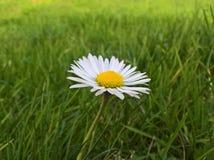 Perennis Daisy Bellis - εντατική στοκ φωτογραφία με δικαίωμα ελεύθερης χρήσης
