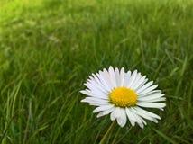 Perennis Daisy Bellis - νόστιμη στοκ εικόνα