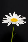 Perennis de Daisy Bellis photographie stock