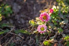 Perennis del Bellis de la margarita común en el prado en primavera Imagen de archivo