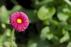 Perennis magenta de Daisy Bellis de fleur de plan rapproché sur un fond des feuilles vertes dans le jardin photo libre de droits