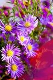 Perennis rosa dell'aster e porpora decorazione immagine stock