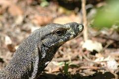 Perenti澳大利亚人蜥蜴 库存图片