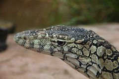 Perentie (Goanna) Stock Photos