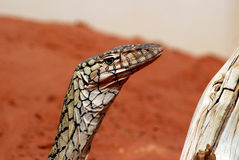 The Perentie (Varanus giganteus) Royalty Free Stock Image