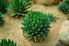 Pereskia cactus. On the sand Royalty Free Stock Photos
