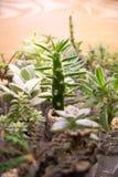 Pereskiopsis et d'autres cactus Images stock