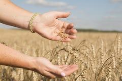 Peresypaya del trigo de mano a mano contra el campo Imagen de archivo