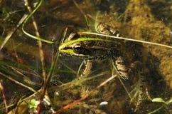 Perez's żaba lub Iberyjska wodna żaba w stawie - Rana perezi Obrazy Royalty Free
