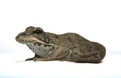 Perez żaba nad bielem 2 Zdjęcie Royalty Free