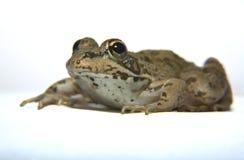 Perez żaba nad bielem Zdjęcie Stock