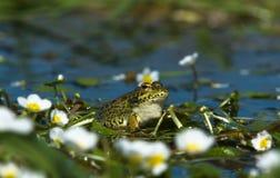 Perez's Frog 4 Royalty Free Stock Photos