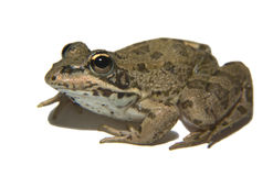 Perez's Frog over white 3 Royalty Free Stock Photo