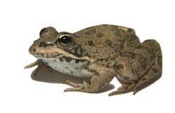 Perez's Frog over white 3 Royalty Free Stock Photo