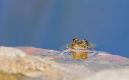 Perez's Frog Stock Photos