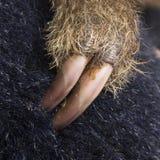 Pereza Dos-tocada con la punta del pie bebé - didactylus del Choloepus Fotos de archivo