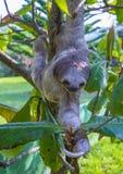 Pereza en Costa Rica imagen de archivo