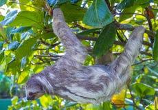 Pereza en Costa Rica fotos de archivo libres de regalías
