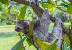Pereza en Costa Rica imágenes de archivo libres de regalías