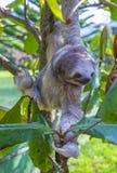Pereza en Costa Rica imagen de archivo libre de regalías