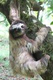 Pereza en la ejecución de Costa Rica en un árbol fotos de archivo