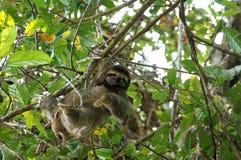 pereza Tres-tocada con la punta del pie en el árbol - Costa Rica imagen de archivo