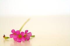 Perfección rosada Imagen de archivo libre de regalías