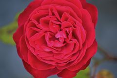 Perfeccione color de rosa Fotos de archivo