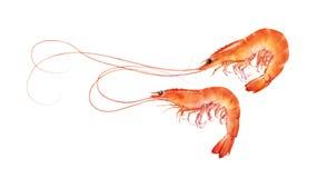 Perfeccione el ejemplo rojo de los camarones aislado en el fondo blanco Foto de archivo