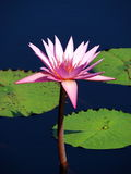 Perfeccione el loto imagen de archivo libre de regalías