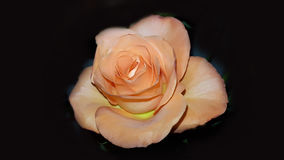 Perfect świeża pomarańcze róża Zdjęcia Stock