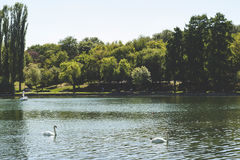 Perfect afternoon in the park. Swans on the emerald lake II Stock Photography
