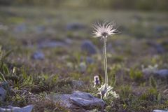 Perfect anemone, Pulsatilla taurica, Ranunculaceae, solitary wild meadow mountain flower in may at the lower plateau Chatyr-Dag stock images
