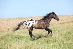 Nice appaloosa stallion running Royalty Free Stock Photos