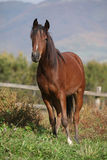 Perfect arabian horse on pasturage in autumn Stock Images
