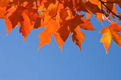 Perfect autumn maple leaves. A view of a branch of bright orange maple leaves in the fall sunlight against a cloudless blue sky. Plenty of open, clear space for Stock Image