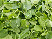 Perfect baby spinach greens Stock Photography