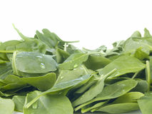 Perfect baby spinach greens Royalty Free Stock Photo