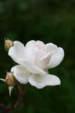 Perfect bloom. A white rose flower in a wonderful bloom with two buds aside and a nice bookeh Stock Photo