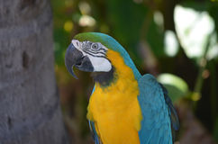 Perfect Blue and Yellow Macaw Bird Stock Photo